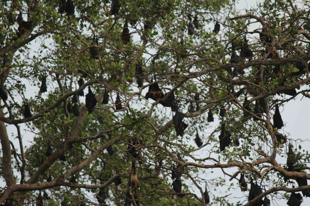 A few of the hundreds of bats in a grove of trees by the Walawa River.  Photo by Karen Martindale.