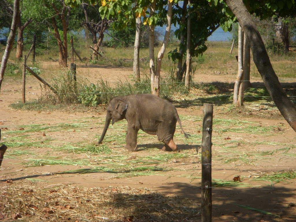 Of the 40-50 young elephants at the Elephant Transit Home, this is the only one that we are unsure could be rehabilitated, but it is amazing that the staff care so much for the elephants that they would fashion one a prosthetic limb. Photo by Megan Collier.
